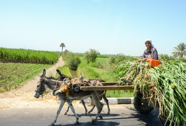 A man transferring harvested sugar cane.